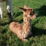 Amber Valley Alpacas