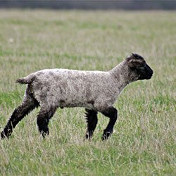 Simply Sheepish